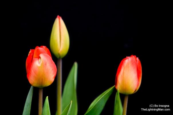 tulips2-650