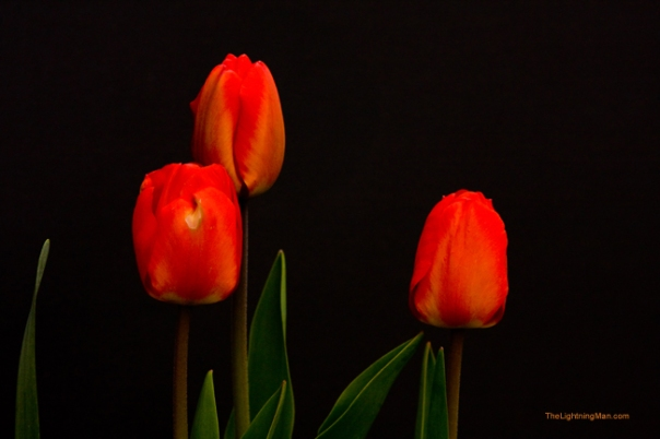 Tulips Day 4