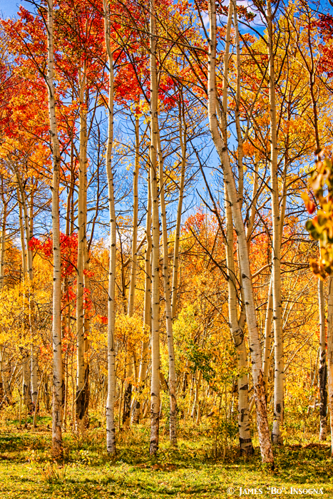 Aspen Fall Foliage Portrait Red Gold and Yellow