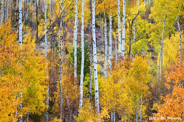 Aspen Tree Magic