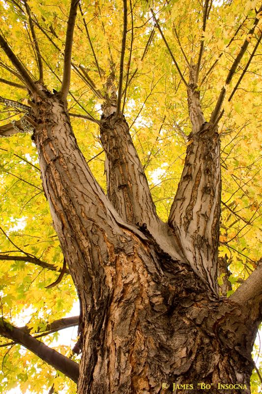 Golden Maple Tree Portrait