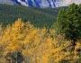 Autumn Aspens and LongsPeak
