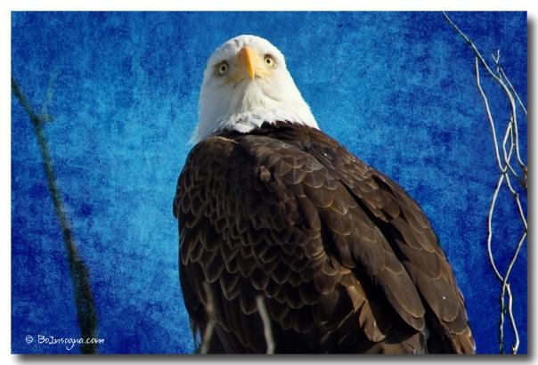 American Bald Eagle Blues  Stretched Canvas Print / Canvas Ar