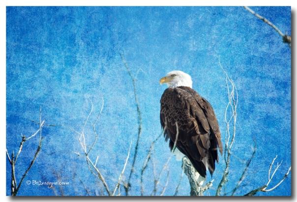 art print Bald Eagle Blues