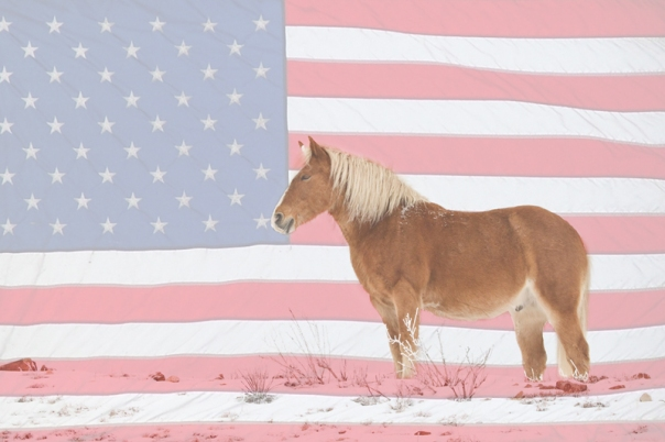 Art Prints American Palomino - James Bo Insogna