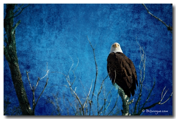 Bald Eagle Blues Into The Night - James Bo Insogna