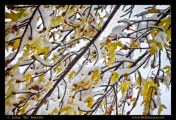 Colorful Maple Tree Branches In The Snow 3