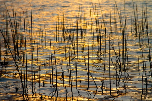 Golden Lake Ripples  Stretched Canvas Print / Canvas Art