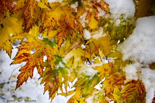 Maple Leaves In The Snow - James Bo Insogna