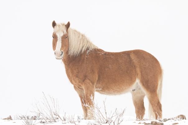 Palomino Horse in the Snow Acrylic Print