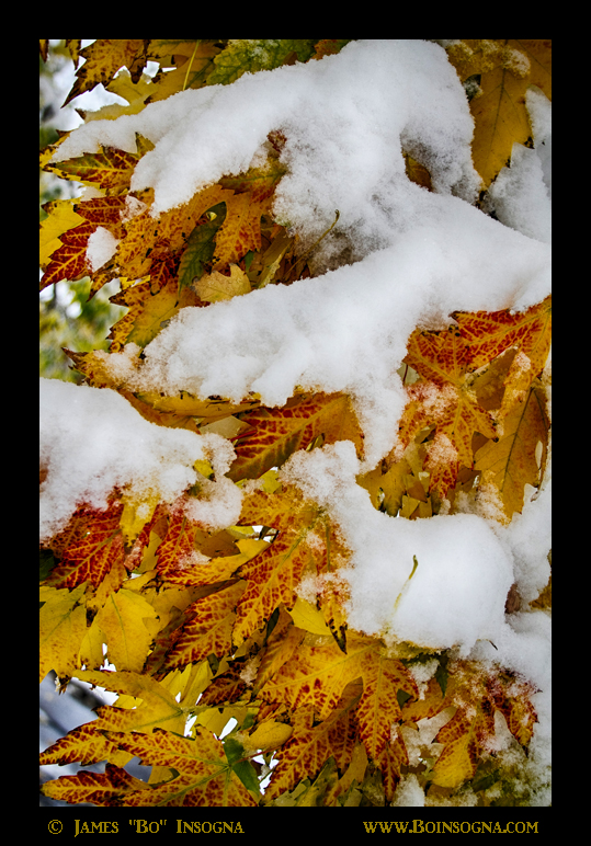 Red Autumn Maple Leaves With Fresh Fallen Snow - James Bo Insogna