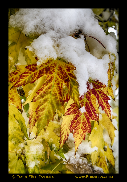 Red Maple Leaves In The Snow - James Bo Insogna