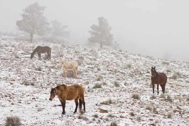 Rocky Mountain Horses Snow and Fog - James Bo Insogna