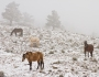 Rocky Mountain Horses in the Snow and Fog