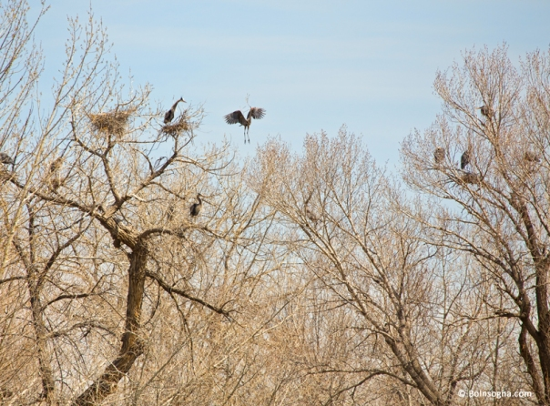 Great Blue Heron Nest Building 1