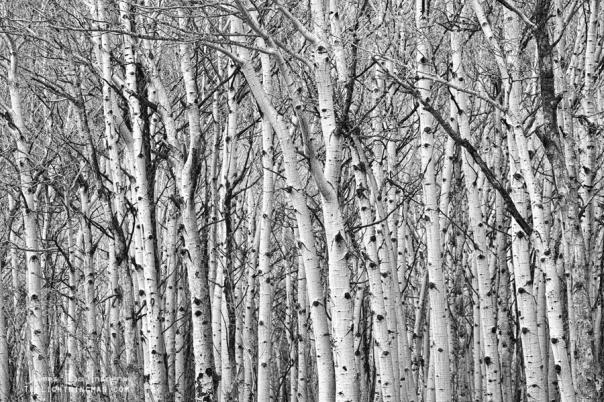 Aspen Forest Tree Trunk Bark  Art Print