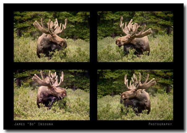 Bull Moose Collage