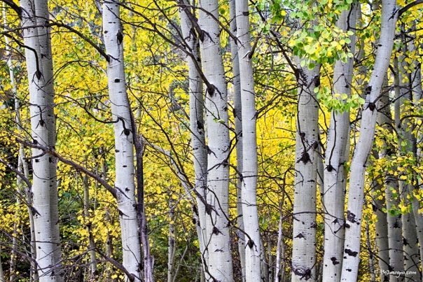 Aspen Splendor  Photography Prints
