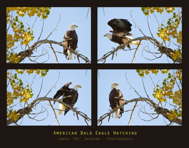 American Bald Eagle Watching