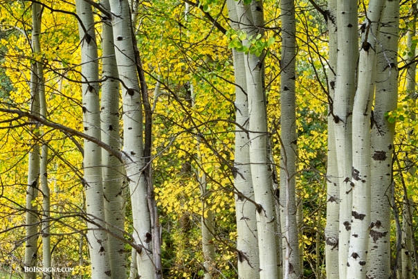 Autumn Aspen Tree Trunks In Their Glory Art Print