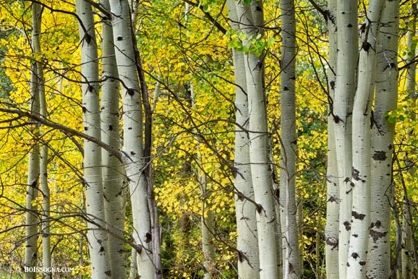 Autumn Aspen Tree Trunks In Their Glory Art Print