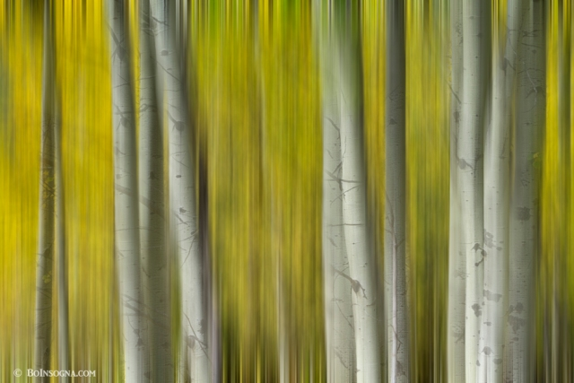 Autumn Aspen Tree Trunks In Their Glory Dreaming Art Prints