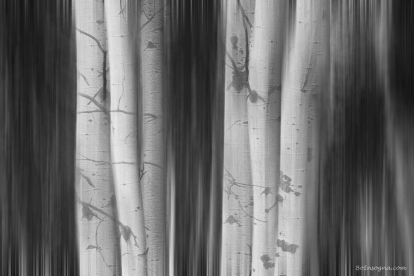 Aspen Tree Colonies Dreaming BW