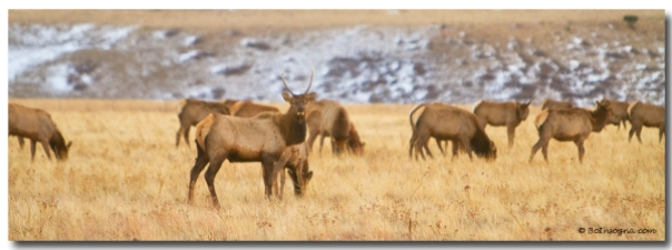 Elk Heard On The Colorado Foothills Plains Panorama Art Prints