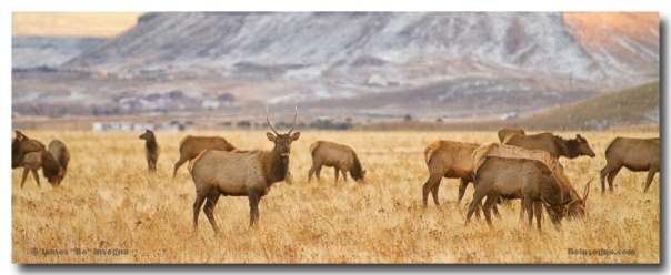 Elk Heard Grazing Rocky Mountain Foothills Panorama