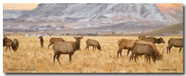 Elk Heard Grazing Rocky Mountain Foothills Panorama