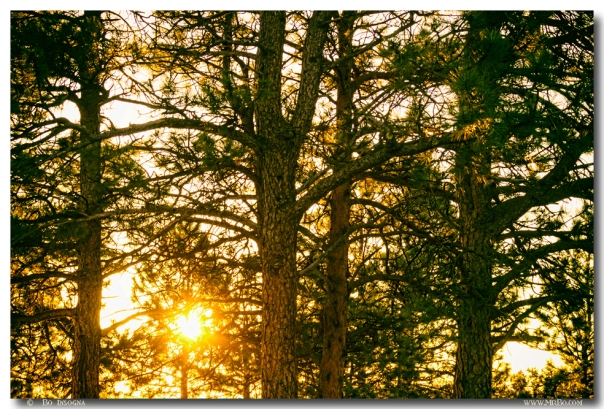 Golden Pine Tree Forest Art Prints