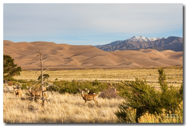 Deer on the Plains Great Colorado Sand Dunes