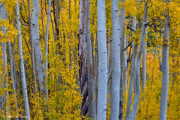 Beautiful Fall Aspen Forest Art Print