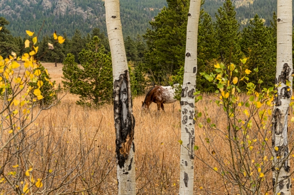 Beautiful Horse Through The Aspen Trees Trunks Art Print