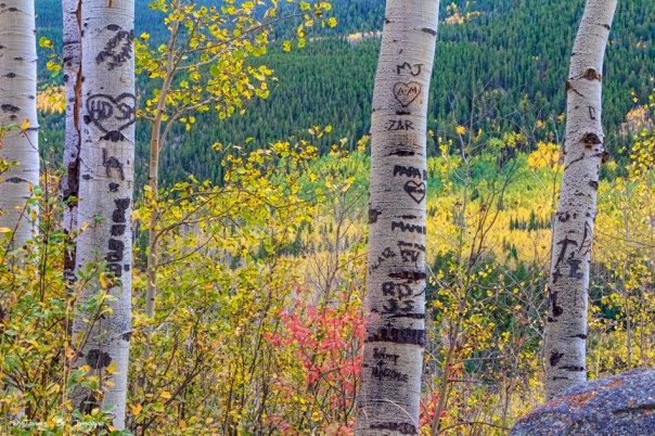 Carved Names and Initials in Autumn Aspen Trees Art Print